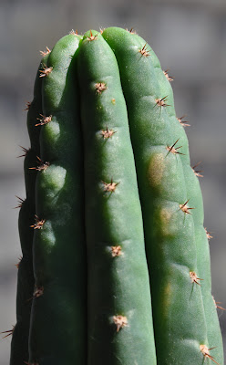 San Pedro cactus developing a sunburn