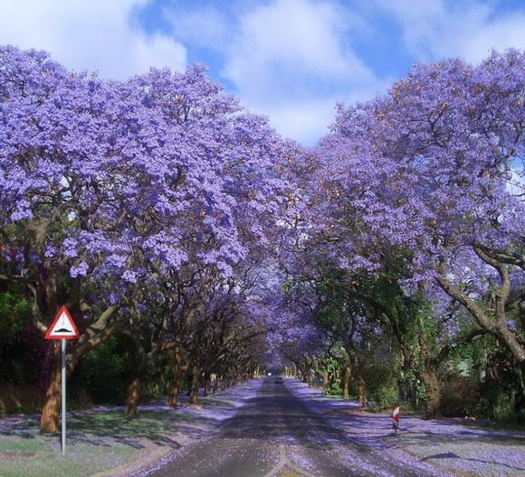 Jacarandas Walk - Joanesburgo - África do Sul