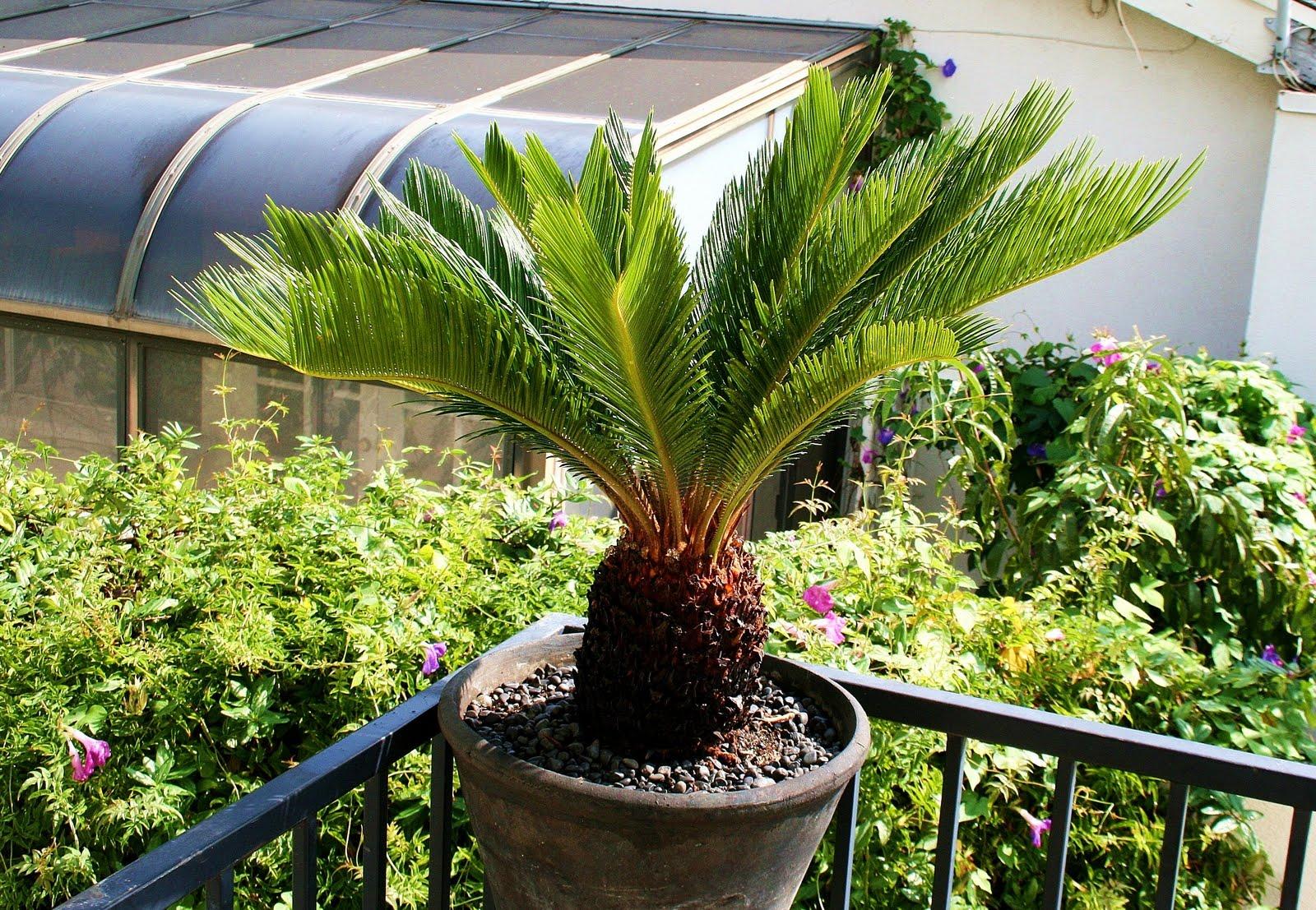 Sago palm - Zimmerpalme arten ...