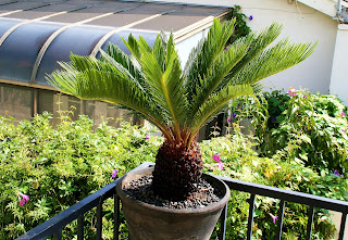 Sago palm has slow growth