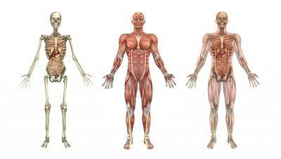Anatomia Locomotora é junção de sistema muscular e esquelético
