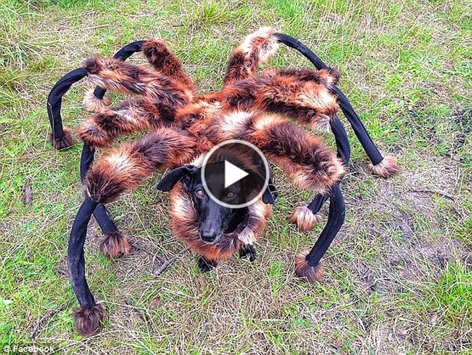 Hilarious Prank When Dog Dressed as Spider Terrifies Passers-By