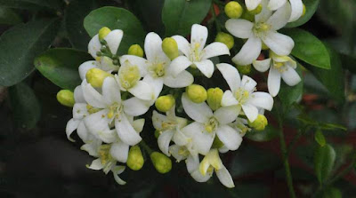 Jasmine (Jasminum Spp) Overview, Health Benefits, Side effects