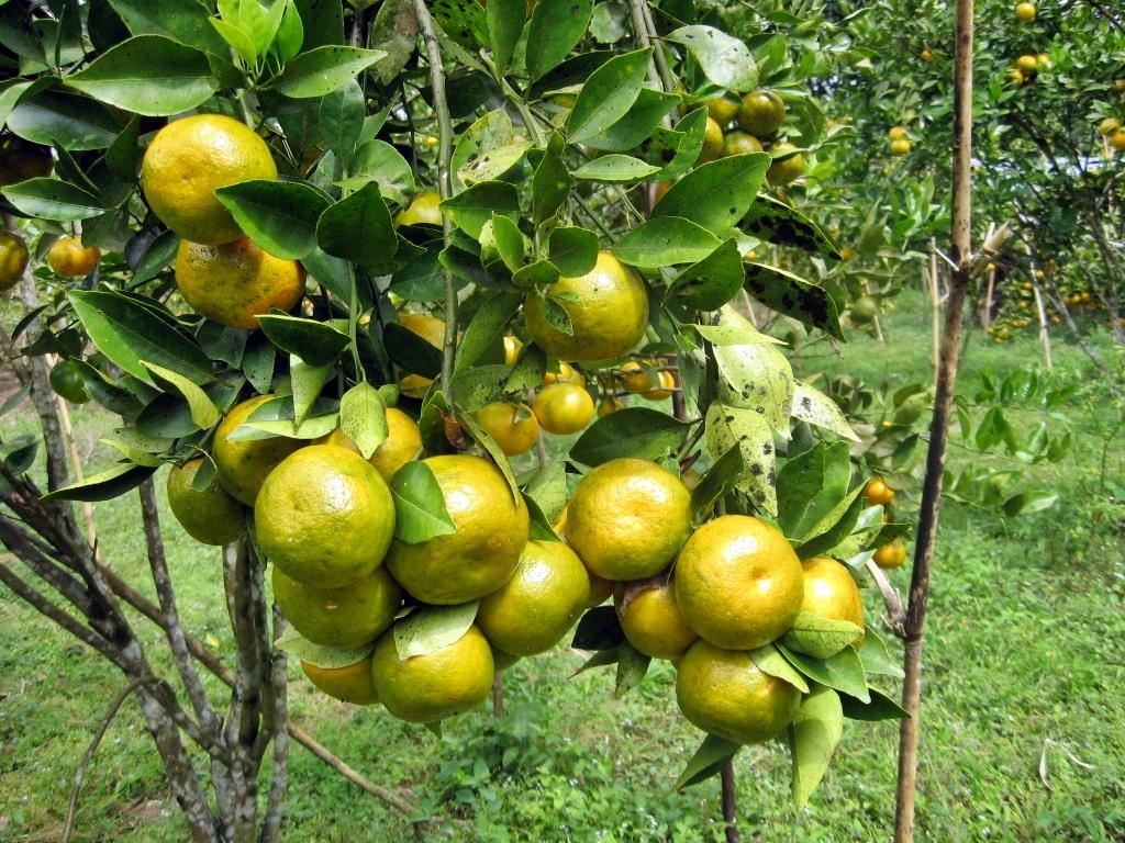 buah+jeruk2.jpg