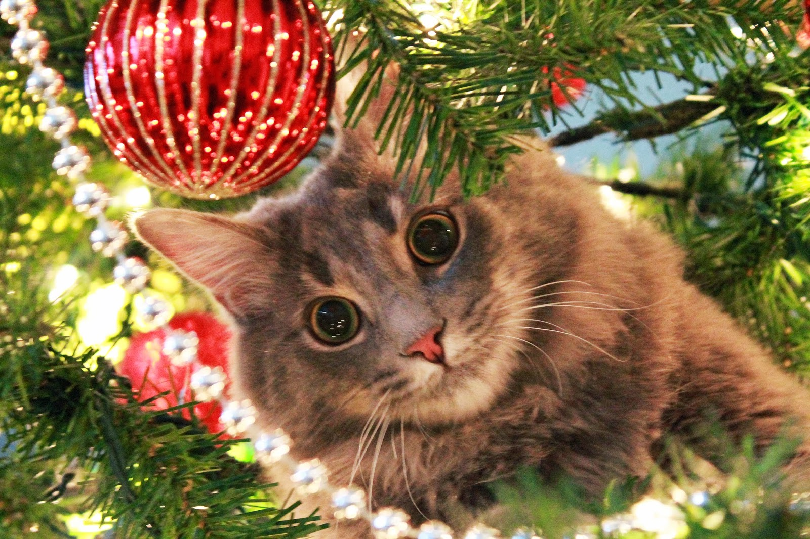 Cray Cat in Christmas Tree | Exclusively Cats Veterinary Hospital, Waterford, MI