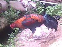 badan ayam