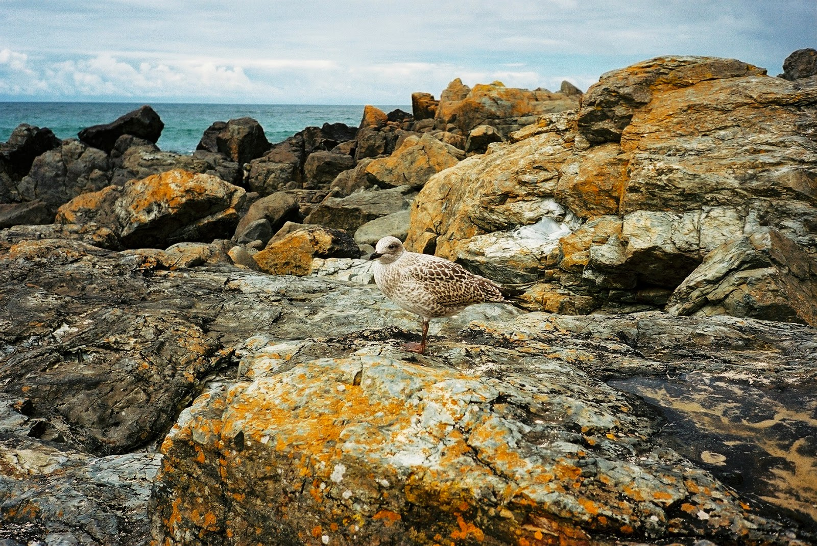 SEAGULL, TEENGULL, CAMOUFLAGED BIRD, ST IVES, CORNWALL, PORTHWIDGEN BEACH, PROTECTED SPECIES, FLY BY SEAGULL MUGGINGS, © VAC 100 DAYS 4 MILLION CONVERSATIONS, 2015 GENERAL ELECTION