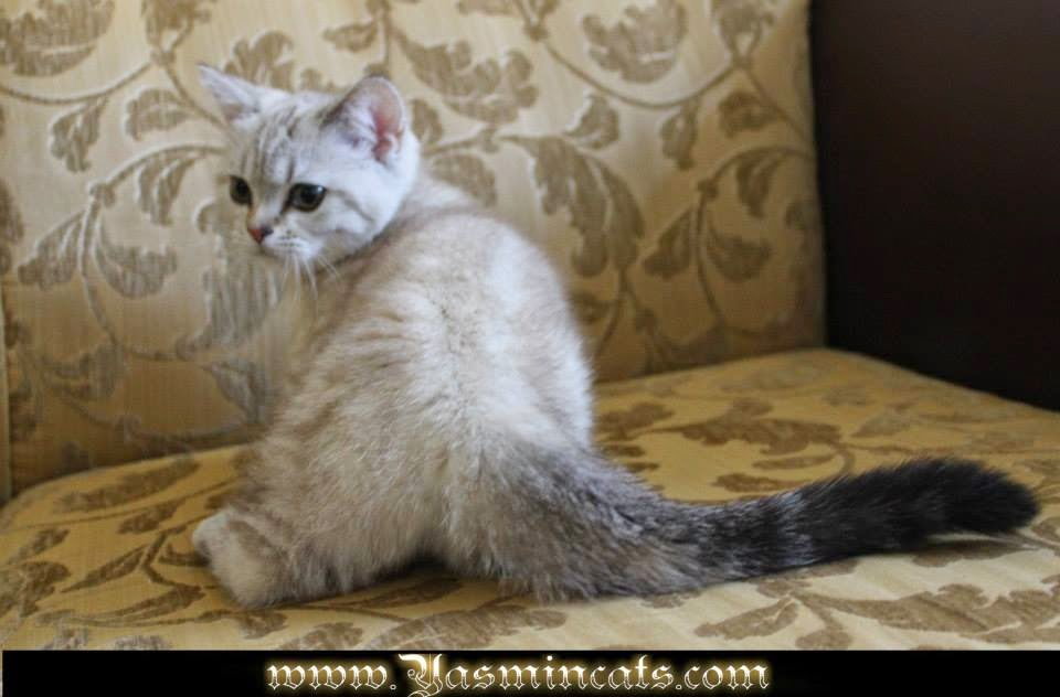 Munchkin Kittens for Sale: Munchkin Female Cat * Silver Angel from ...