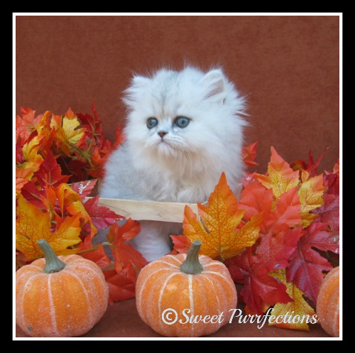 Brulee surrounded by fall leaves and pumpkins as a kitten