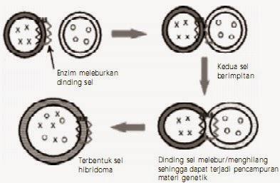 Teknik fusi sel untuk mendapatkan sel dengan sifat campuran.