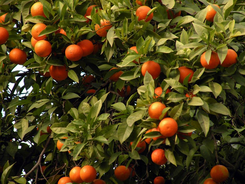 Orto per tutti piante da frutto agrumi for Piante da frutto