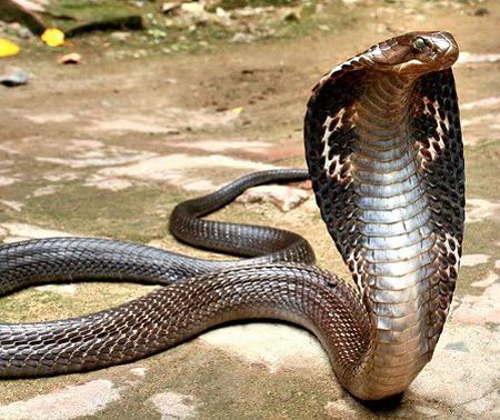 foto ular cobra - gambar hewan