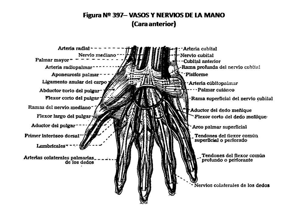 ATLAS DE ANATOMÍA HUMANA: 397. VASOS Y NERVIOS DE LA MANO, CARA ...