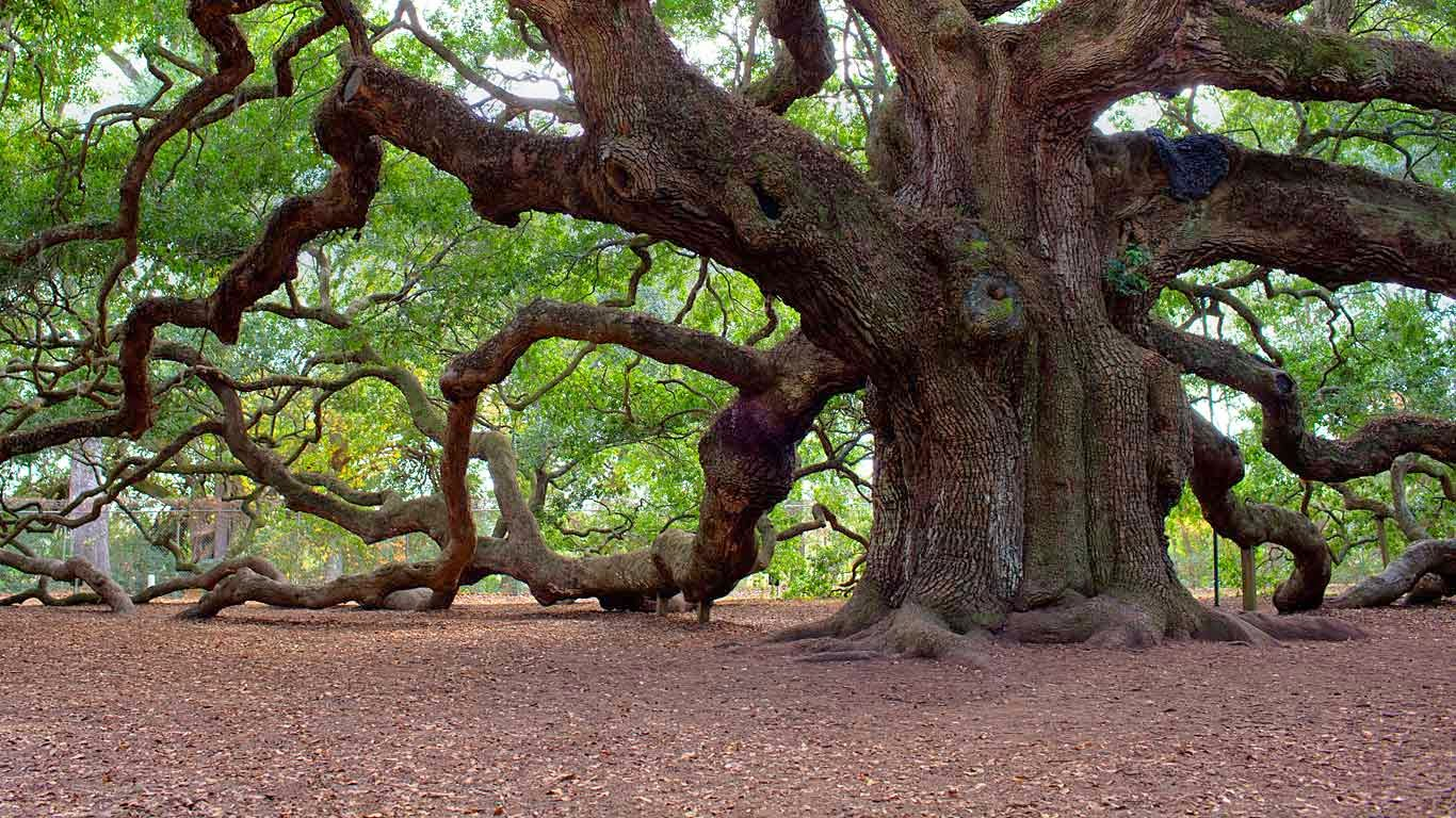 Angel Oak Tree, Johns Island, South Carolina (© Haraldur Stefansson/Alamy) 217