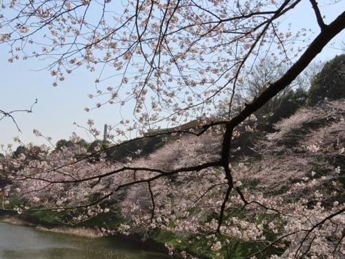 日本武道館下の桜03