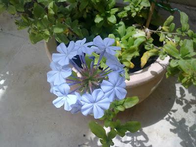 plumbago auriculata, flowers
