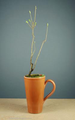 http://fotobabij.blogspot.com/2015/12/bonsai-w-wysokim-kubku.html