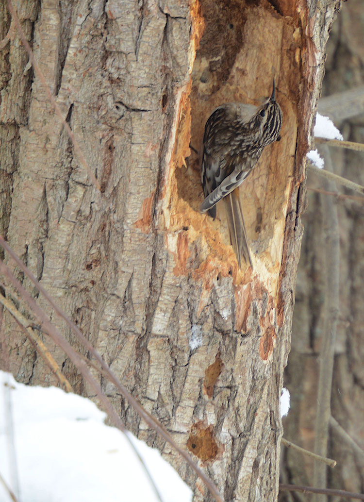Brown Creeper using its tail to help it stay on the tree.