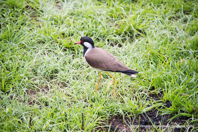 Red wattled lapwing Bandipur Forest