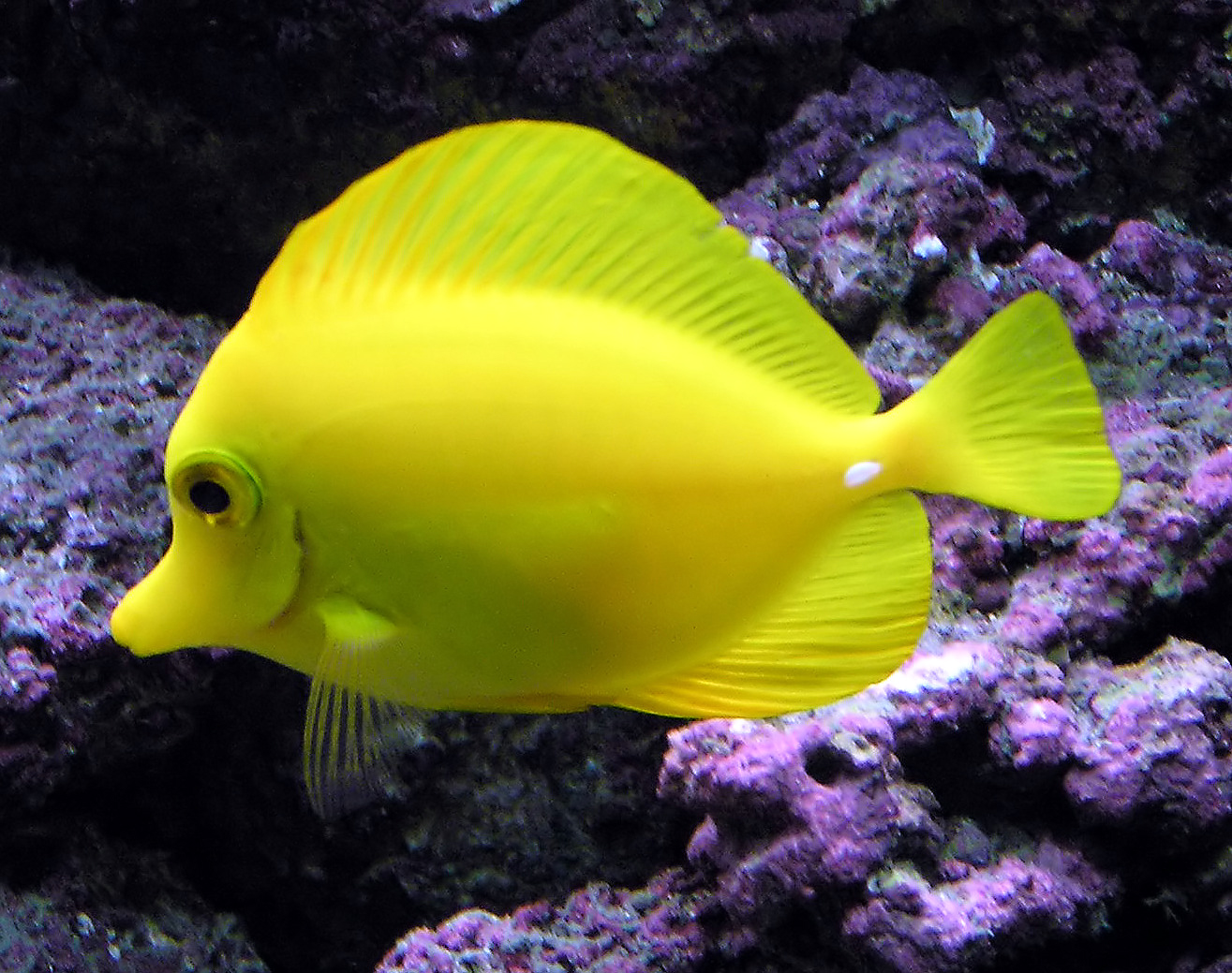 aquarium fish yellow tang fish wallpaper animals library
