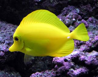 Yellow Tang Fish Wallpaper