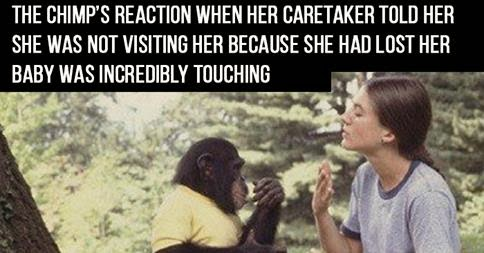 She Told The Chimp She Had Lost Her Baby. What The Chimp Did Next Was Heartbreaking