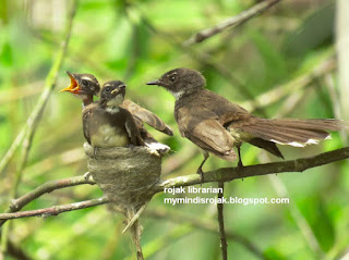 Pied Fantail Nesting in Pasir Ris Park