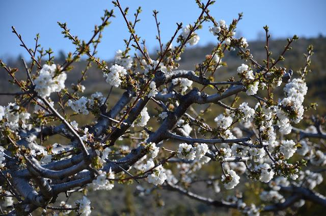 verger de cerisiers en fleurs