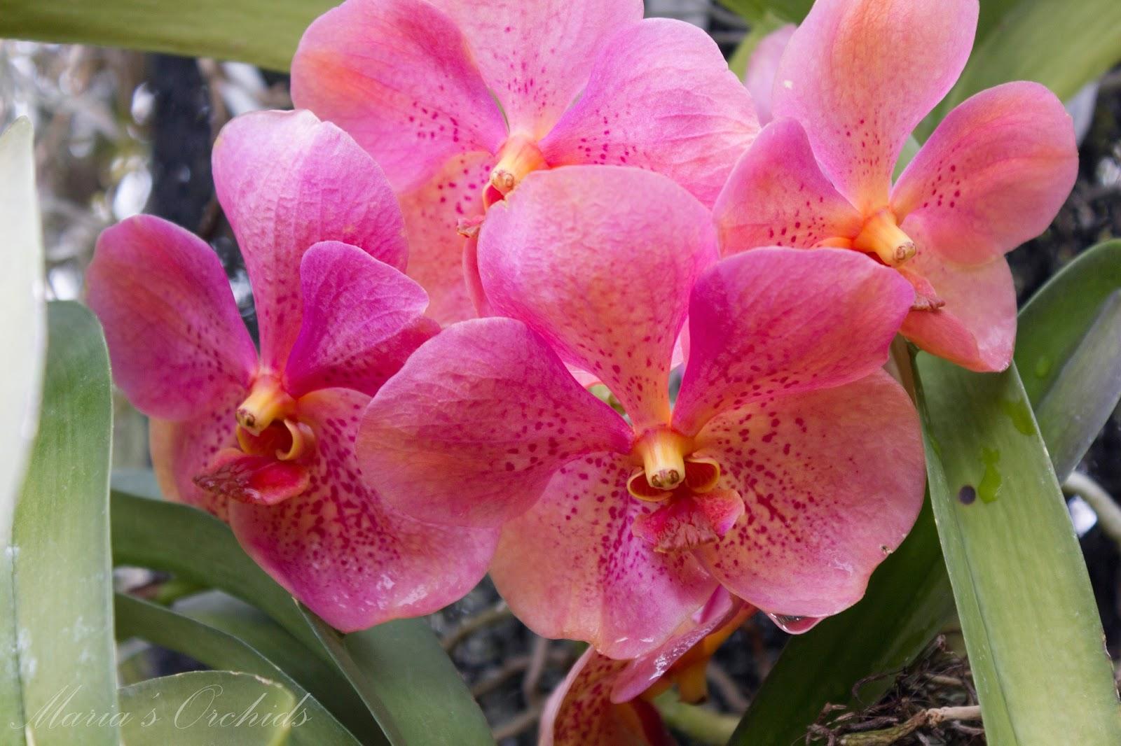 Maria S Orchids New York Orchid Show 2013 Vandas
