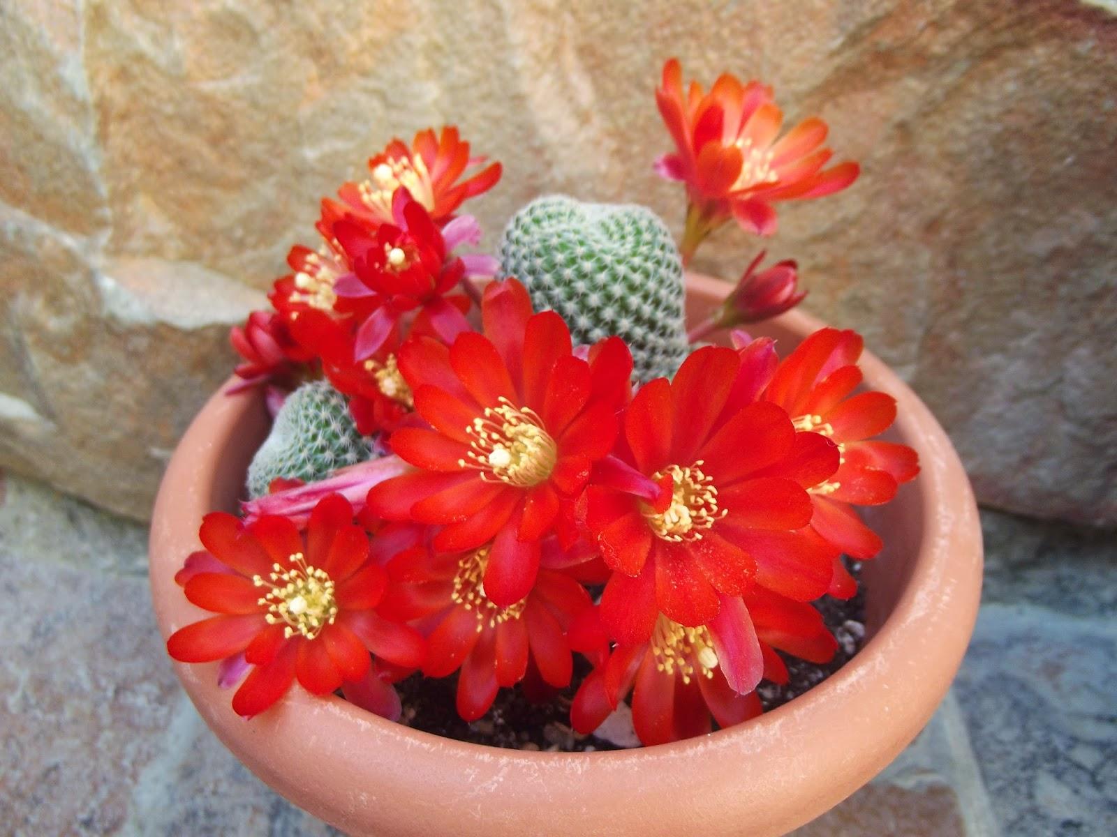 Cactus y crasas for Cactus variedades