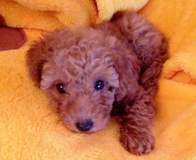 miniature poodle puppy, cute puppy