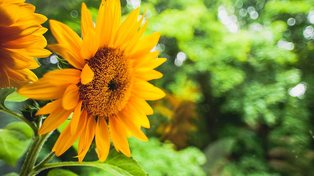 Sunflower yellow flowers green blurred background HD Wallpaper