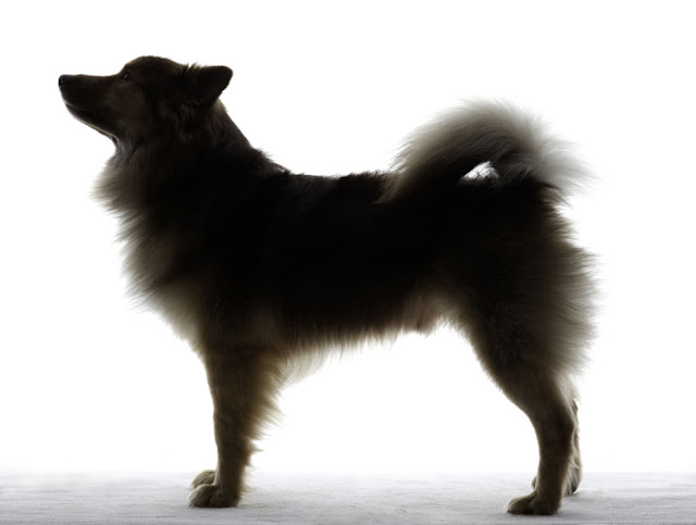 Icelandic Sheepdog Westminster The Reel Foto: The Wes...