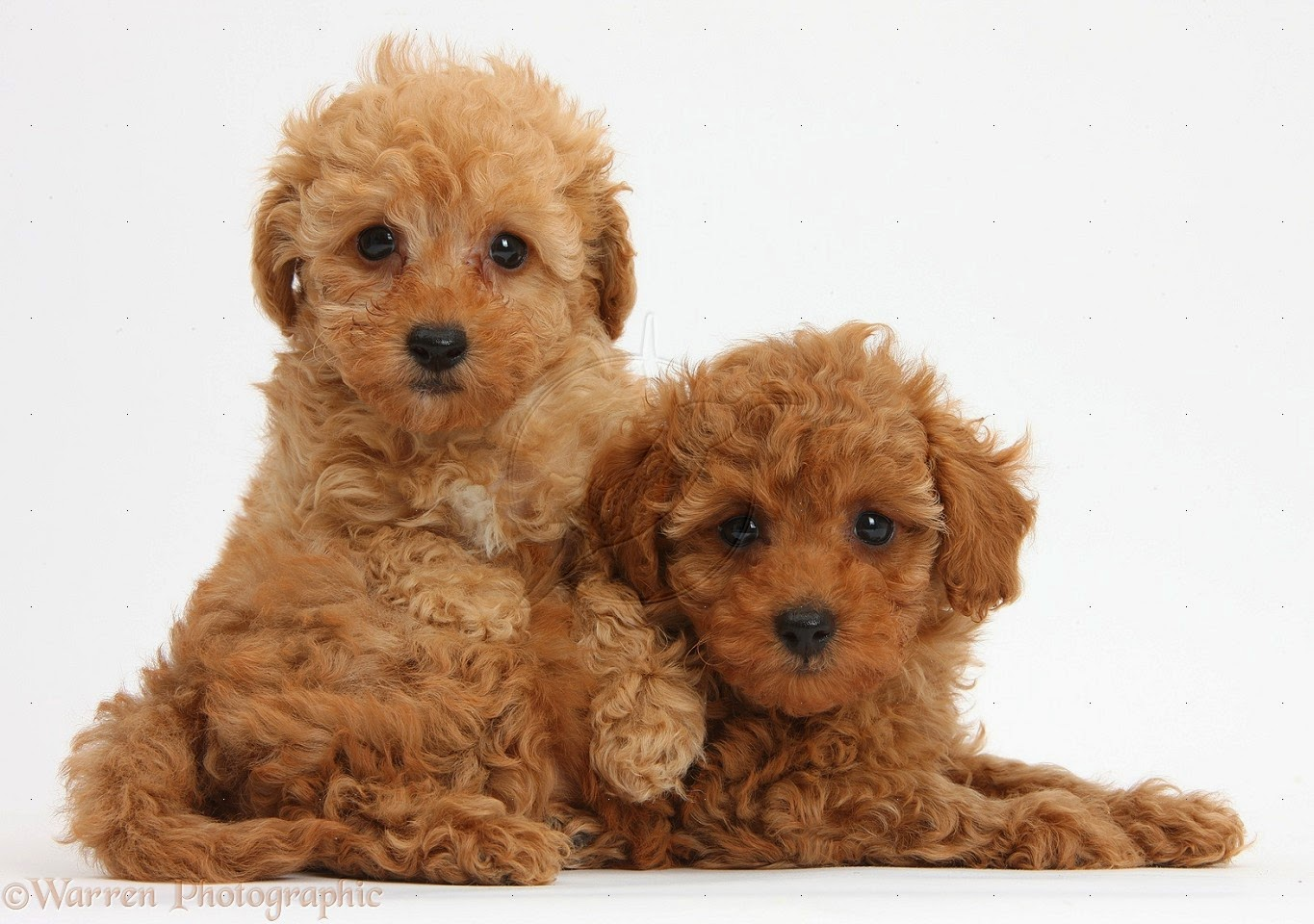 Toy Poodle Puppy Dogs : Rules of the jungle poodle puppies