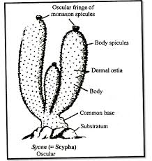 Scypha Diagram