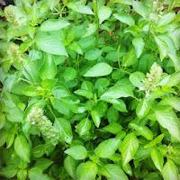 Macam mcam obat herbal bisa menyembuhkan diabetes