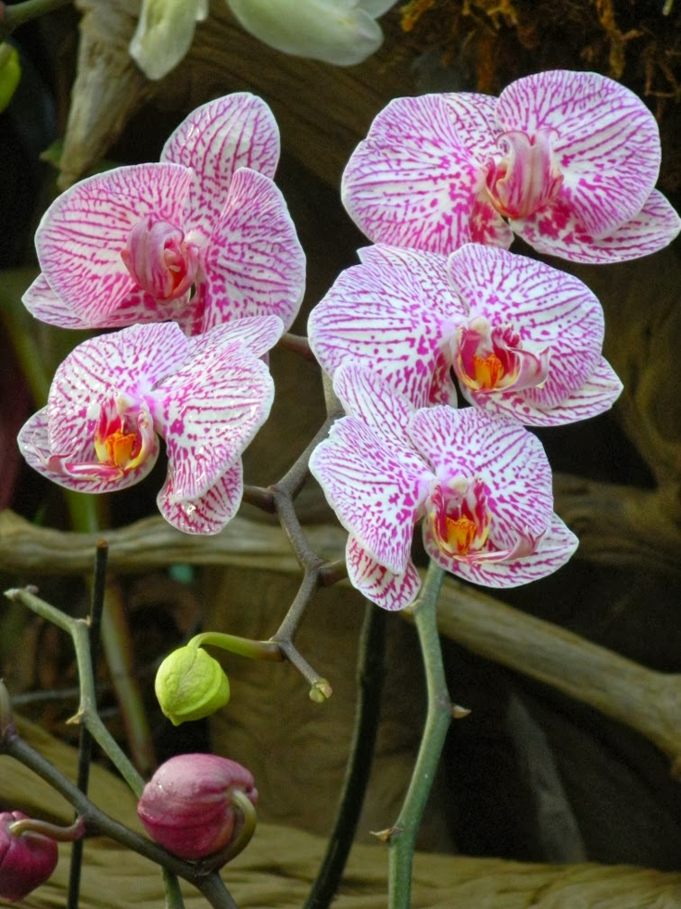 Centennial Park Conservatory tropical house Phalaenopsis orchid by garden muses-not another Toronto gardening blog