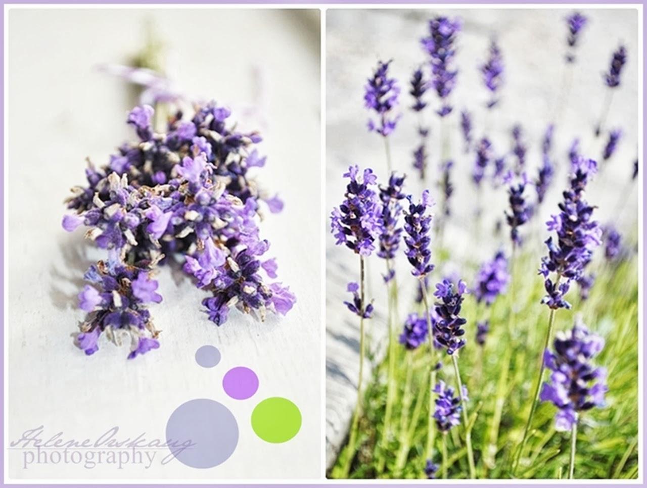 Lavender dreams . . .