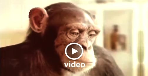 Μαθήματα ... Ανθρωπιάς Από Χιμπαντζή - Βίντεο