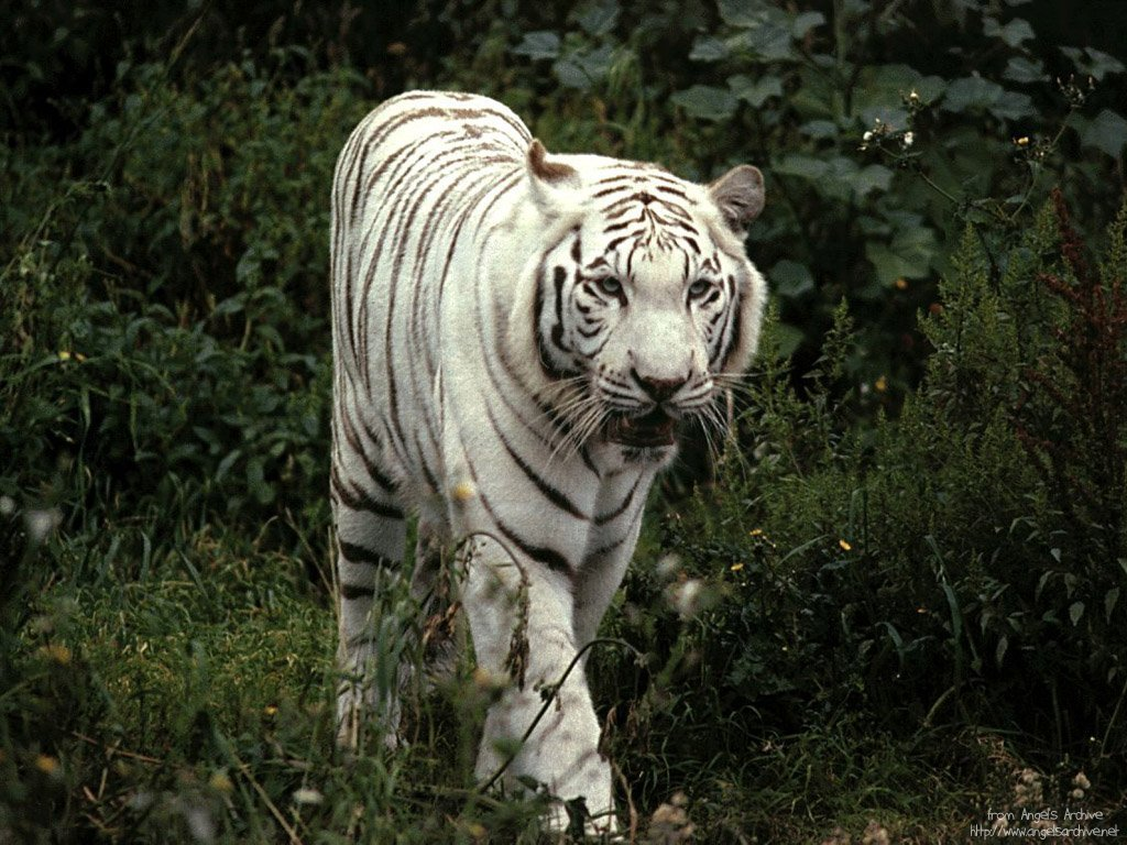 image gallary 3 beautiful white tiger wallpapers for