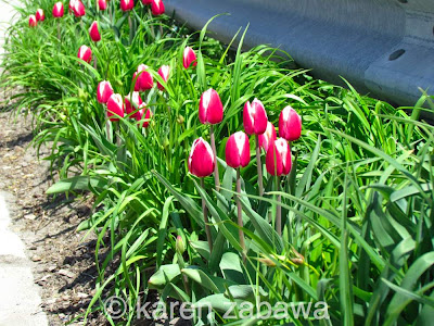 Red and white tulips interplanted with daylilies in border garden Port Credit, Ontario