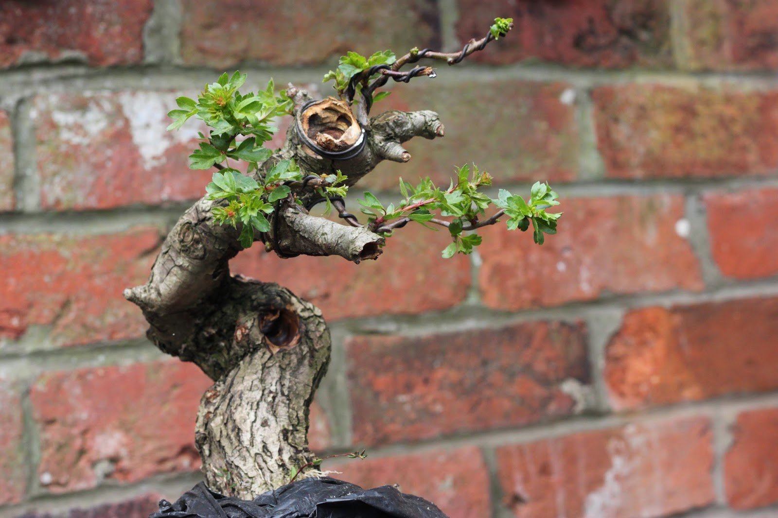 Yamadori Art UK Bonsai Wood Carving With 39The Nibbler39