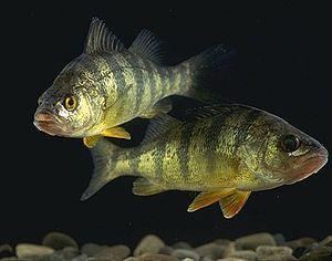 """Even fishes love """"Mozart's Eine kleine Nachtmusik"""" which boosts dopamine secretion."""