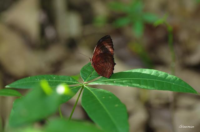 雞南山散步,藍紋鋸眼蝶