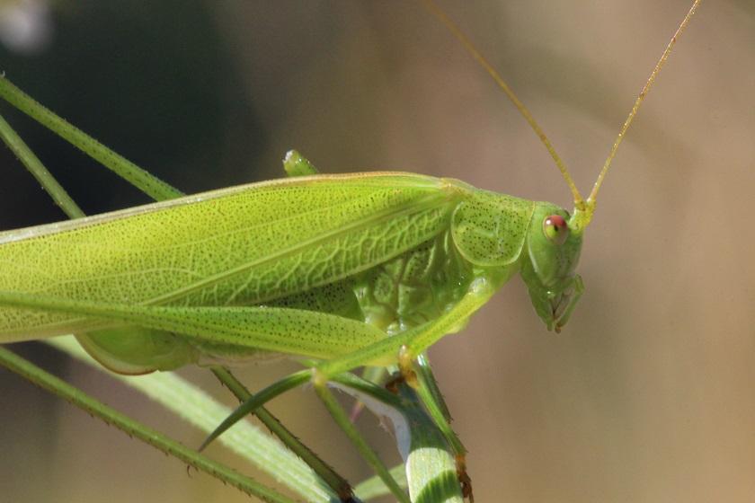 Tierfotos - Insekten - Laubheuschrecken