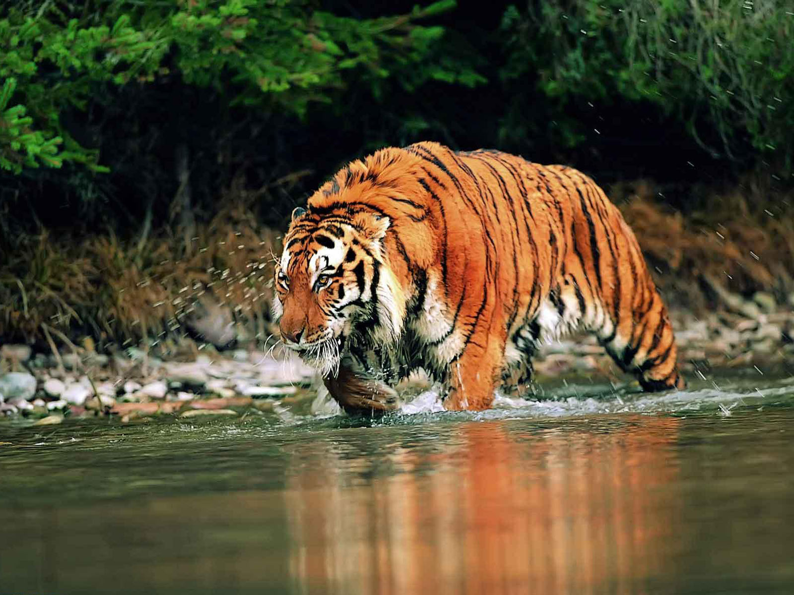 wallpapers bengal tiger wallpapers