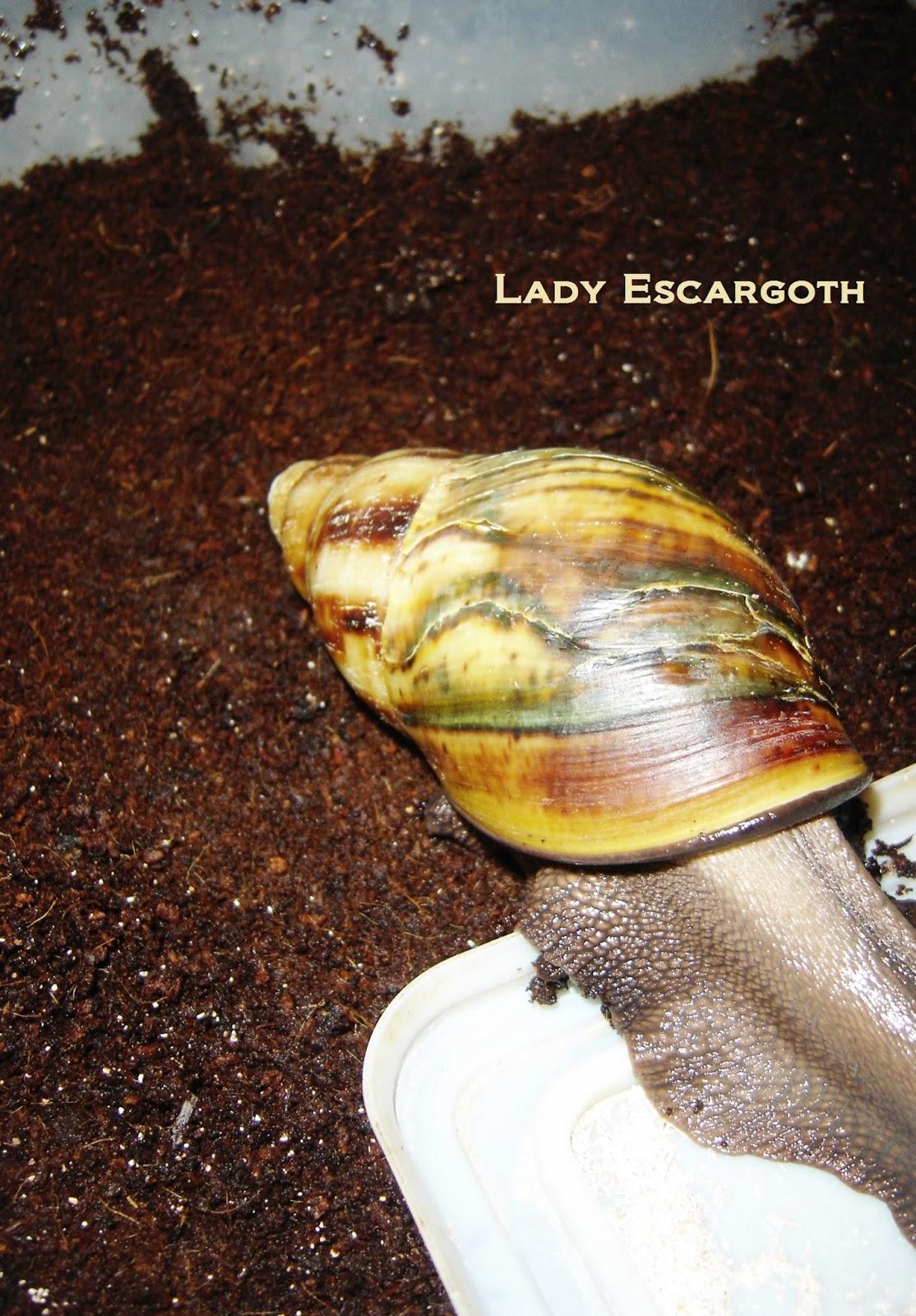 fibre de coco escargot géant