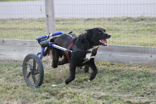 Scooter Running in dog wheelchair