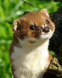 Weasels image