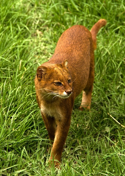 South American Spotted Big Cat